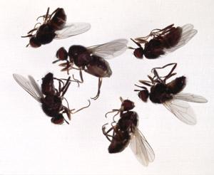 Bli kvitt små fluer